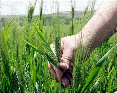 http://muslimvillage.com/wp-content/uploads/2011/06/Planting-wheat-e1307021059817.jpg